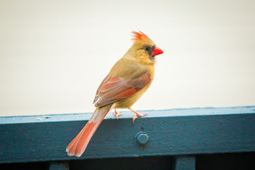 Northern cardinal female bird outside