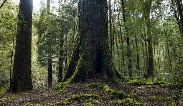 Large tree trunk with mossy covering stands tall in old growth and ancient forest, Tasmania Australia.