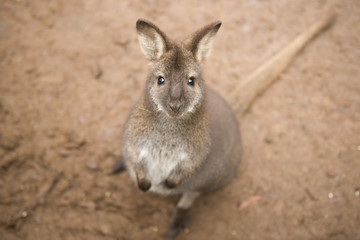 Australian wallaby outdoors during the day.