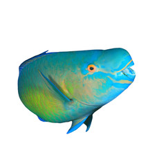 Parrotfish tropical sea fish isolated on hite background