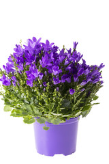 Violet flowers of blooming bellflower (Campanula)  in flowerpot isolated on white background , close up.