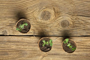 Wall Mural - Young plant of pea, seedling in small pot isolated on wooden background. Soft selective focus, rustic background