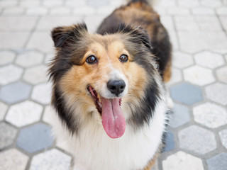 Dog, Shetland sheepdog, collie, standing on ground, looking at camera with mouth open, smiling expression.