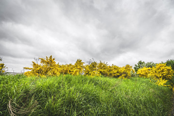 Yellow broom bushes in green grass