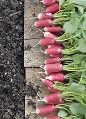 organic radish put on along a plank in soil of a garden