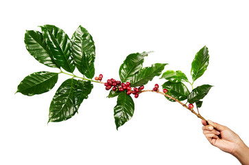 Red coffee beans on a branch of coffee tree with leaves, Ripe and unripe coffee beans isolated on white background with clipping path