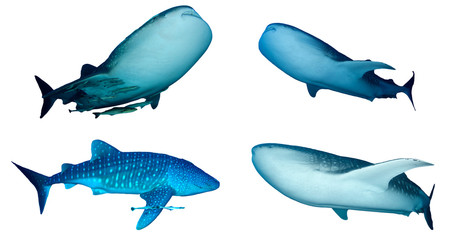 Whale Sharks isolated on white background