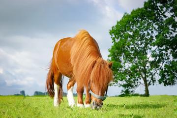 Hübsches Pony weidet auf einer Wiese