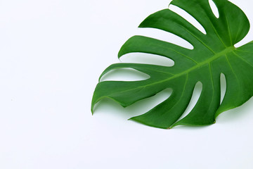 Tropical jungle Monstera leaves isolated, Swiss Cheese Plant, isolated on white background.