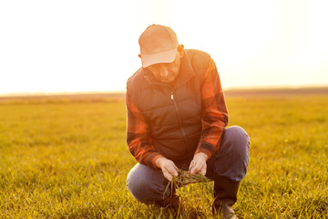 Senior farmer in young wheat field examining crop in his hands at sunset.