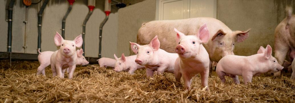 Schweinezucht - Gruppenhaltung von Saugferkeln auf Stroh