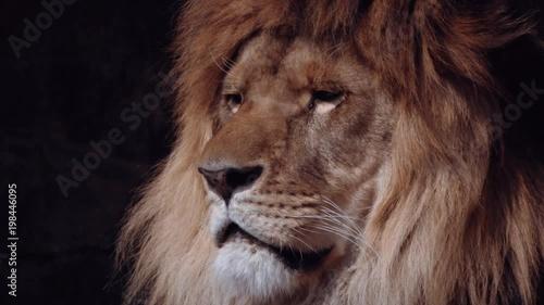 lion, close up