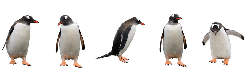 Staande foto Antarctica Gentoo penguins isolated on white background