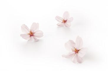 桜の花 ソメイヨシノ(バック飛ばし、影イキ)