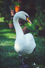 graceful white swan walks on the shore along the green grass