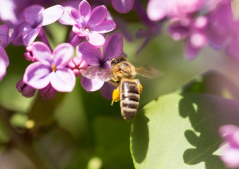 The bee flies on the flowers of the lilac