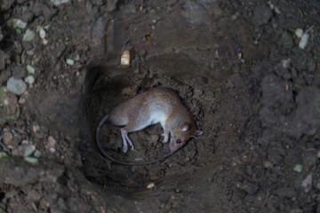 dead rat body in pit  prepare for bury