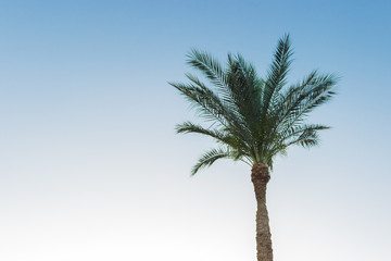 one palm tree over blue sky background