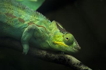 Grünes Chamäleon läuft über Ast