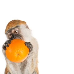 Monkey Eating Orange Close-up