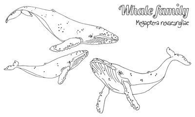 The family of humpback whales with their calf. Megaptera novaeangliae. Vector in black and white lines.