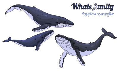 Humpback whale. The family of whales with their calf. Megaptera novaeangliae. Vector illustration.