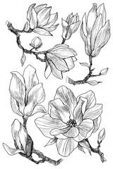 Ink, pencil, the leaves and flowers of Magnolia isolate. Line art transparent background. Hand drawn nature painting. Freehand sketching illustration set