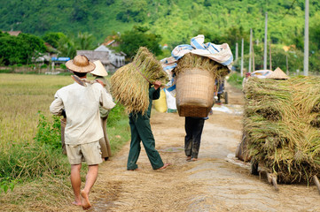 VIetnam - rural scene at harvests of the rice