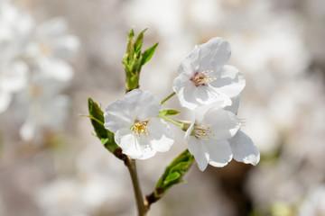 桜の花と新芽