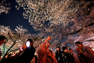 Visitors walk under illuminated cherry blossoms in full bloom at Ueno Park in Tokyo