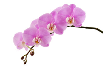 Door stickers Orchid Phalaenopsis