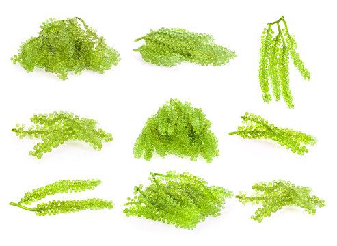 set of sea grapes ( green caviar ) seaweed