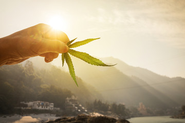 Leaf of cannabis in the hand in the setting sun on blurred background