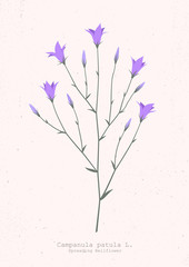Vector illustration of a spreading bellflower