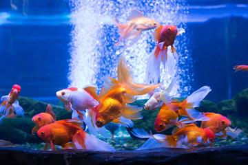 a lot of goldfish in the aquarium