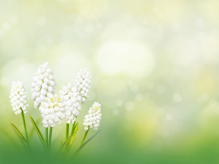 Muscari white flowers spring background