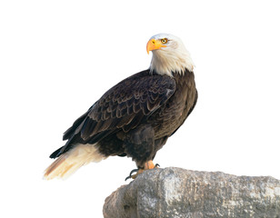 Photo sur Plexiglas Aigle Bald Eagle (Haliaeetus leucocephalus). Isolated on white