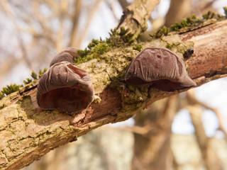 close up of growing hanging jelly jew ears tree elder - Auricularia auricula-judae (Bull.) Wettst. - Jelly Ear Fungus
