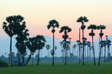 Sugar palm trees in the rice field at morning,countryside of Thailand