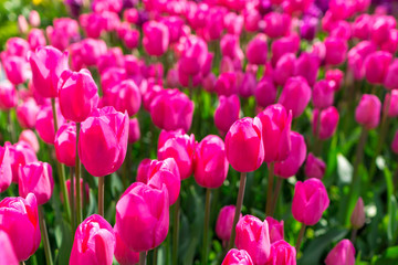 Fresh colorful tulip with bokeh background.