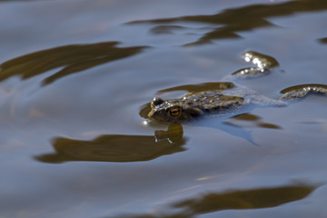 common frog, Rana temporaria, floating and swimming in a pond in the cairngorms national park, in spring.