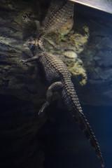 Closeup alligator underwater with reflection