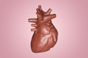 A human heart. Part of anatomy human body model with organ system