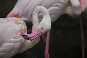 Closeup of pink flamingo with background