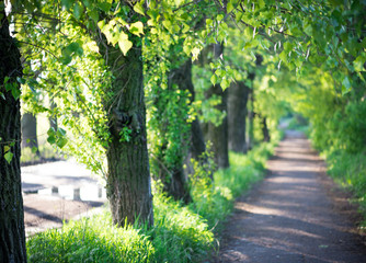 tree alley in summer