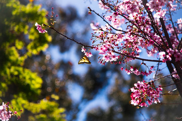 Butterfly on Cherry Blossom tree