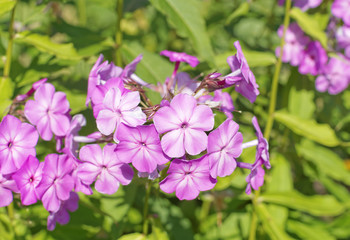 Photo of flowering pink phlox close-up.