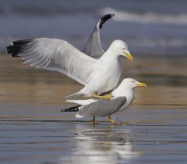 Yellow-legged gull, Larus cachinnans