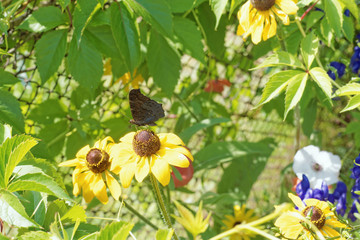 Photo of the flowers of gelenium close-up with a butterfly sitting on a flower.
