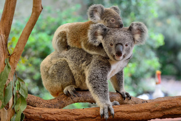 Foto op Textielframe Koala Mother koala with baby on her back